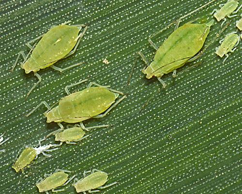 Bladluizen in maïs : gevaar is geweken