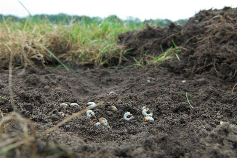 Chloorpyrifos niet langer toegelaten in grasland-weiland